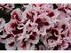 Pelargonium 'Askham Fringed Aztec'