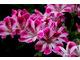 Pelargonium 'Shogan'
