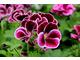 Pelargonium 'Black Prince'