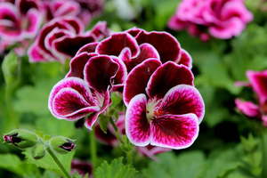 Pelargonium 'Black Prince'