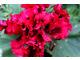 Pelargonium 'Bredon'