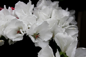 Pelargonium 'White Glory'