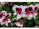 Pelargonium 'Michael'