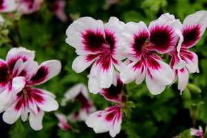Pelargonium 'Michael'