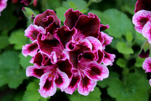 Pelargonium 'Spanish Angel'