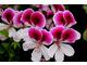 Pelargonium 'Lara Maid'
