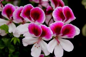 Pelargonium 'Lara Maid'