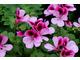 Pelargonium 'Darmsden'