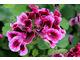 Pelargonium 'The Barle'