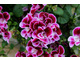 Pelargonium 'Henry Weller'
