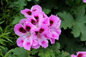 Pelargonium 'Orsett'