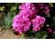 Pelargonia bluszczolistna o pełnych kwiatach