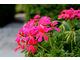 Pelargonia o pojedynczych kwiatach