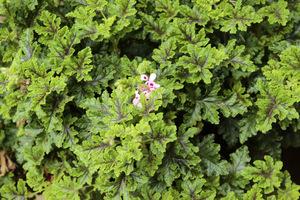 Pelargonia o zapachu mięty pieprzowej, z dwubarwnymi liśćmi, delikatnie klapowanymi, z czekoladową plamą pośrodku. Hybryda 'Peppermint' x 'Giant Oak