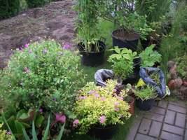 Wykopane rośliny czekają na swoją kolej