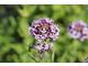 Centranthus lecoqii ma lekko fioletowe kwiaty