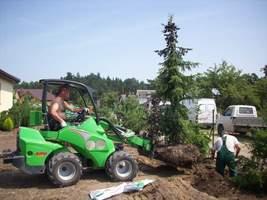 Przesadzanie dużych drzew