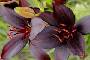 Lilia azjatycka 'Landini' - kwiaty