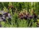 Lilia azjatycka 'Landini' wśród traw i z cisowym żywopłotem w tle