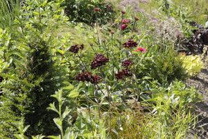 Goździki brodate (roślina dwuletnia) o czarnych kwiatach