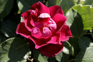 Rosa 'Cardinal Hume'
