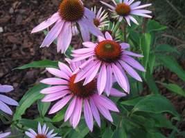 Jeżówki kwitną późnym latem i przyciągają motyle