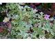 Pelargonium graveolens 'Variegata'