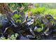 Kapusta w warzywniku jest równie ozdobna jak kwiaty na rabacie