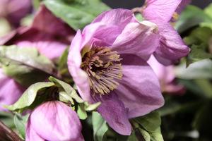 Helleborus x hybridus (mieszaniec o fioletowych kwiatach)