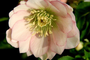 Helleborus 'Frilly Isabelle'