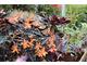 Begonia i eonium