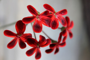 Pelargonium 'Ardens' o olśniewających, szkarłatnych płatkach z ciemnobrązowymi plamkami. Może być gwiazdą kolekcji pelargonii