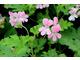 Pelargonium 'Sweet Mimosa' - pyszne, cytrynowo-różane liście - tegoroczny hit w ofercie Sarah Raven