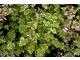 Pelargonium 'Variegated Fragrans' ma małe, okrągłe, śmietankowo-zielone, pstrokate liście o silnym zapachu sosny. Doskonały pokrój kuli zwieńczony małymi białymi kwiatami