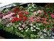 Kolekcja pelargonii na Chelsea Flower Show