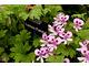 Pelargonium 'Lemon Fancy' ma niezwykłe liście o cytrynowym zapachu