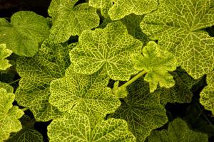Pelargonium 'Crocodile' ma liście marmurkowate, żółto-zielone