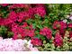 Pelargonia bluszczolistna w atrakcyjnym odcieniu głębokiego różu
