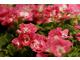 Pelargonium 'Bermuda Pink'
