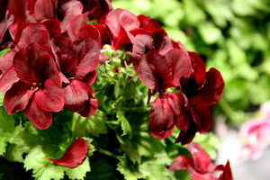 Pelargonium 'Aristo Schoco'