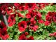 Pelargonium 'Candy Flowers Dark Red'