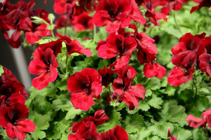 Pelargonium 'Candy Flowers Dark Red'