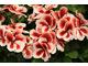 Pelargonium 'Candy Flowers Strawberry Cream'