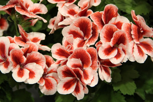 Pelargonium 'Candy Flowers Strawberry Cream'