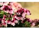 Pelargonium 'Purple Majesty'