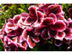 Pelargonium 'Kilimanscharo'