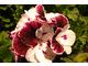 Pelargonium 'Black & White'