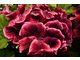 Pelargonium 'Early Rose'