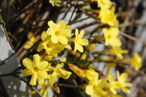 Jasminum nudiflorum - kwiaty