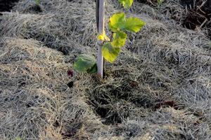 Przeschnięta skoszona trawa